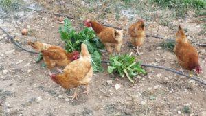 Cuida las gallinas en casa rural. Casa rural con huerto y granja de gallinas
