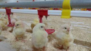 Casa Rural con Granja de Pollitos y gallinas