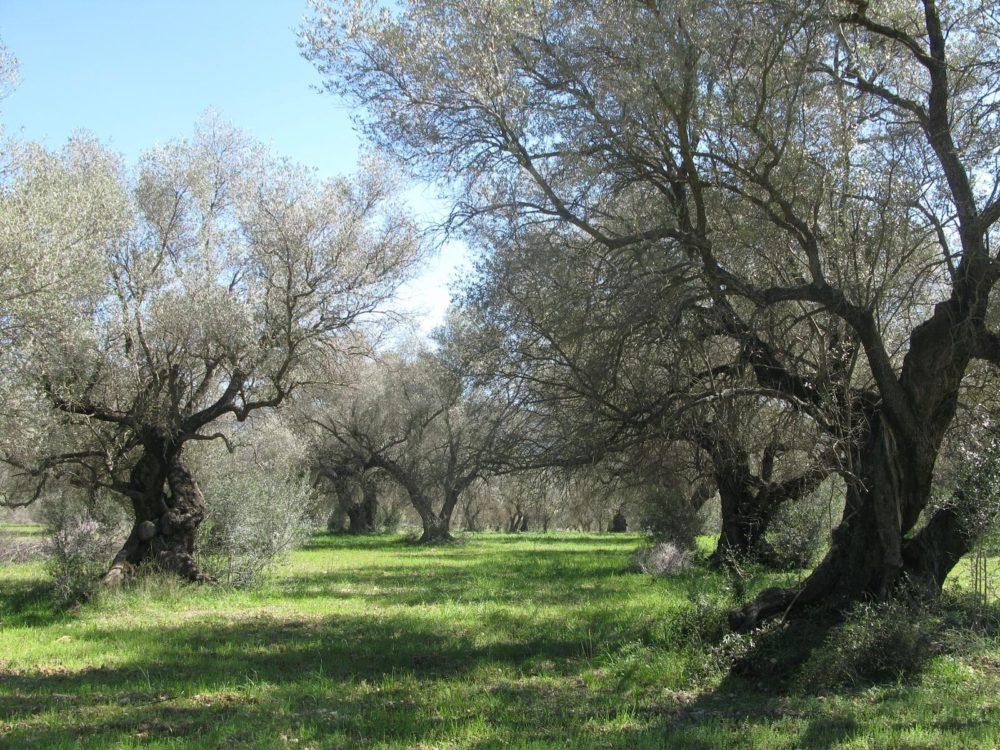 Ruta olivos milenarios de Sant Mateu - Vikiloc